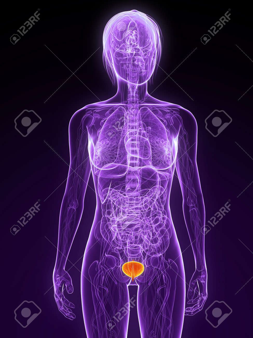 female anatomy with highlighted bladder Stock Photo - 7314765