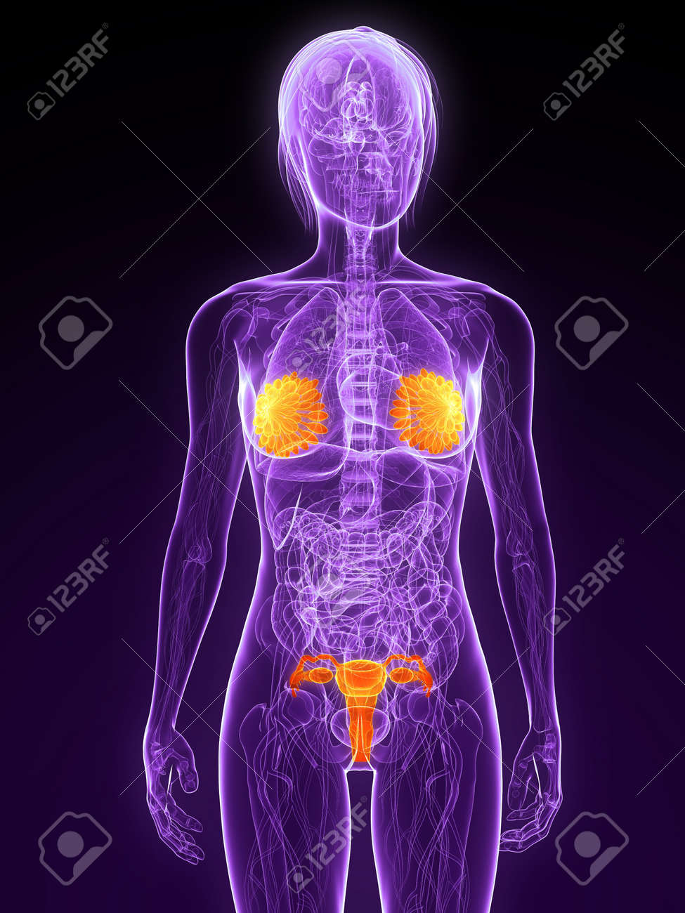 Free female sex anatomy pic