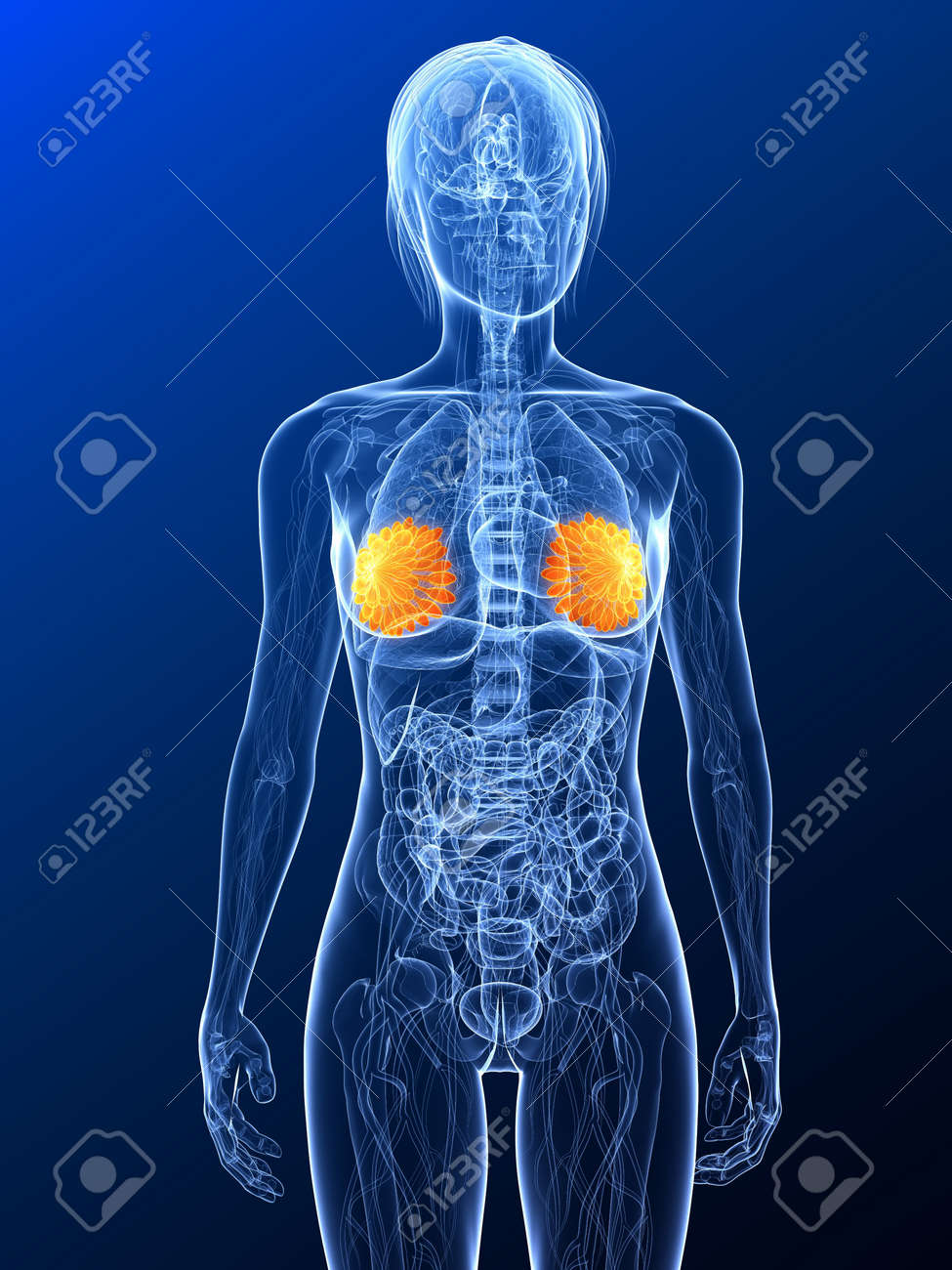 female anatomy with highlighted mammary Stock Photo - 7314758