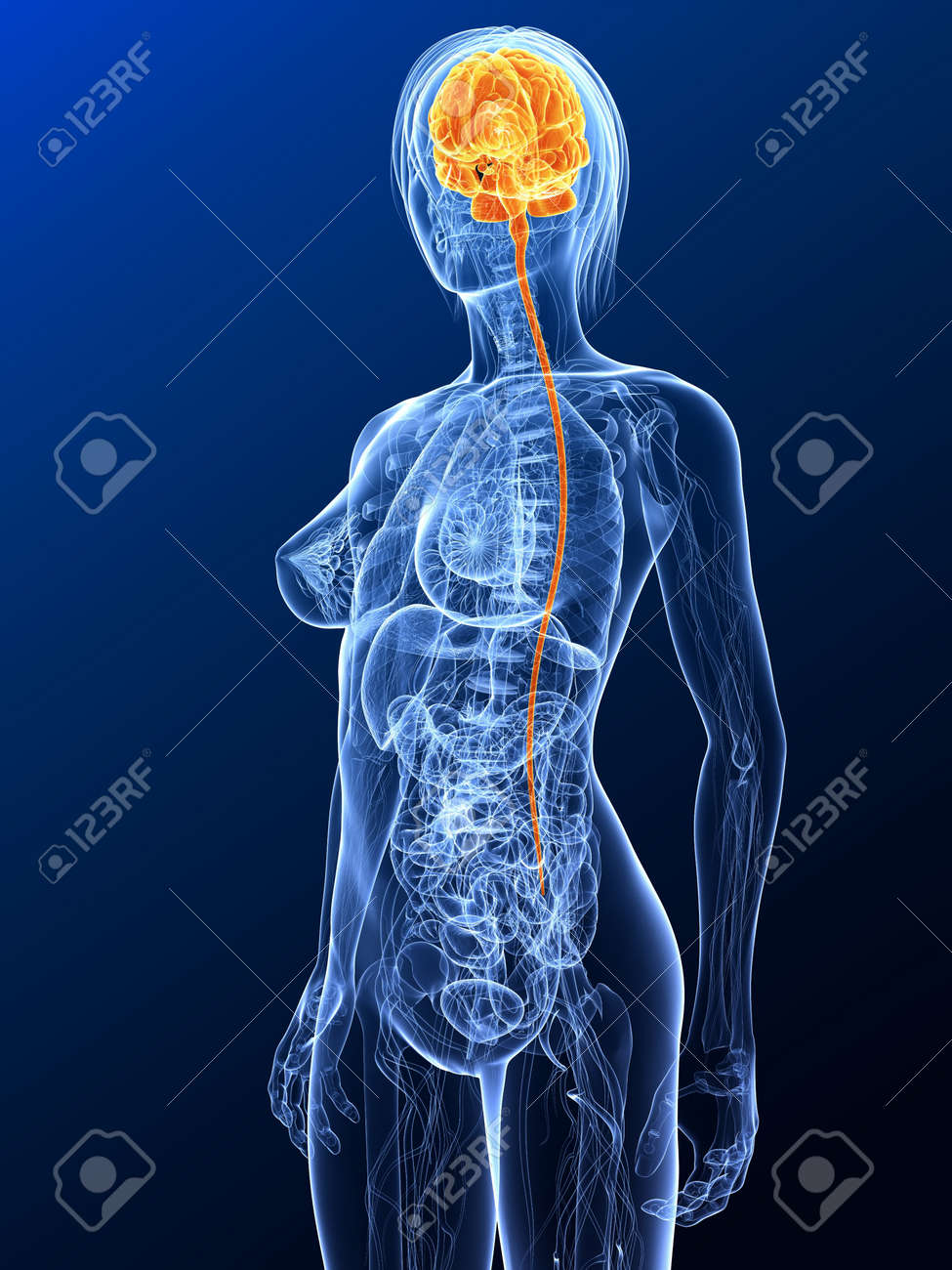female anatomy with highlighted brain Stock Photo - 7299646