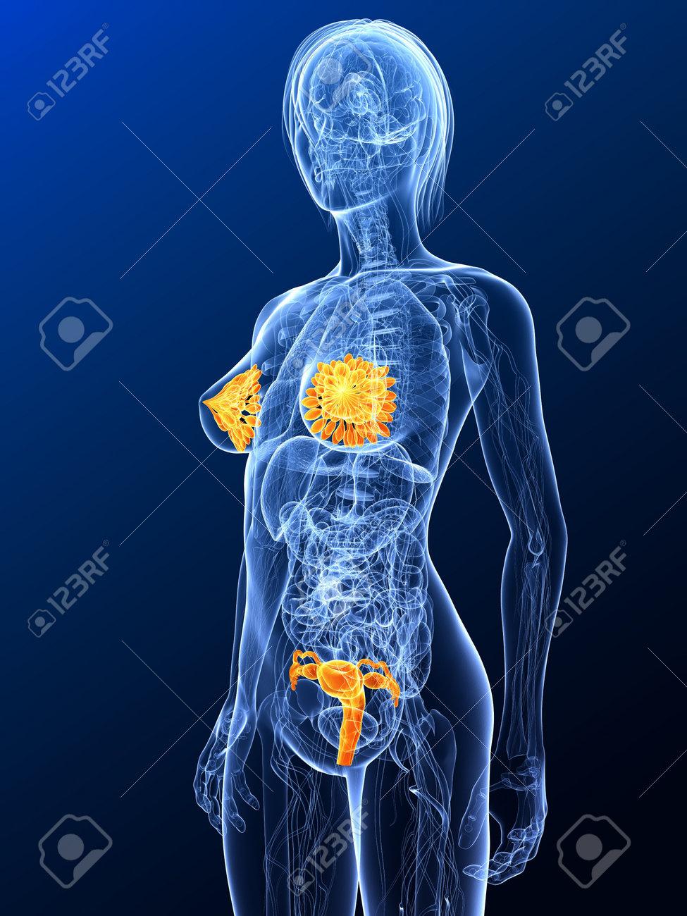 Anatomía Femenina Con órganos Sexuales Resaltada Fotos, Retratos ...