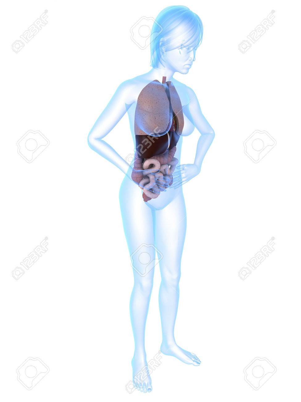 Gemütlich Bild Des Weiblichen Körpers Zeigt Organe Bilder - Anatomie ...