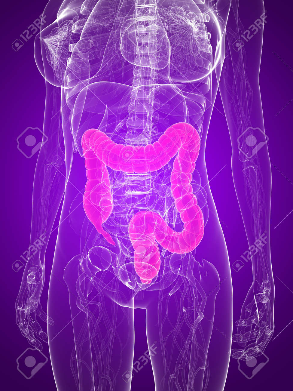 female anatomy with highlighted colon Stock Photo - 7286015