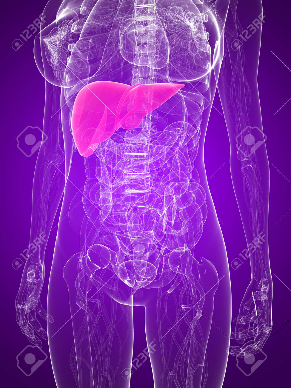 female anatomy with highlighted liver Stock Photo - 7286019