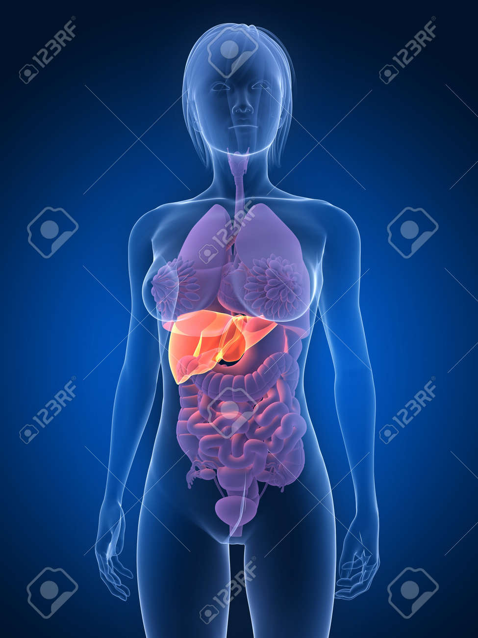 transparent female body with highlighted liver Stock Photo - 7285848