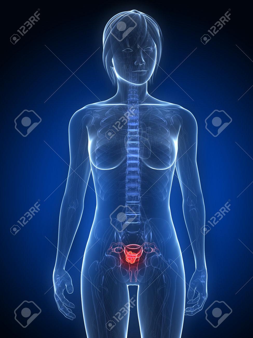 Weibliche Anatomie Mit Tumor In Der Gebärmutter Lizenzfreie Fotos ...