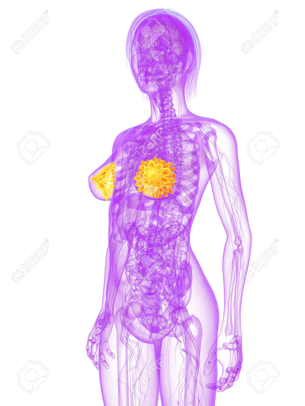 transparent female body with highlighted mammary glands Stock Photo - 7249241