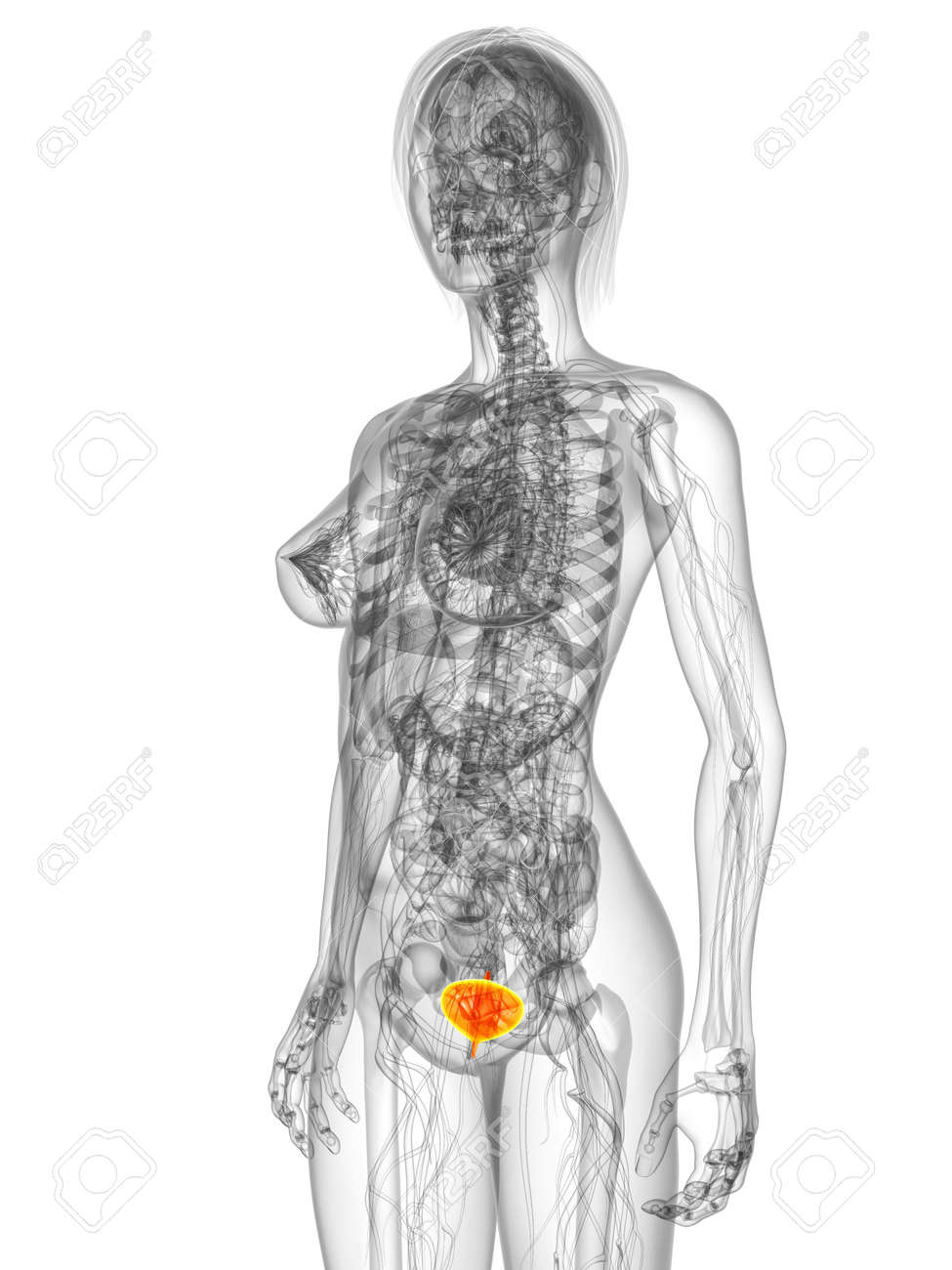 transparent female body with highlighted bladder Stock Photo - 7249255