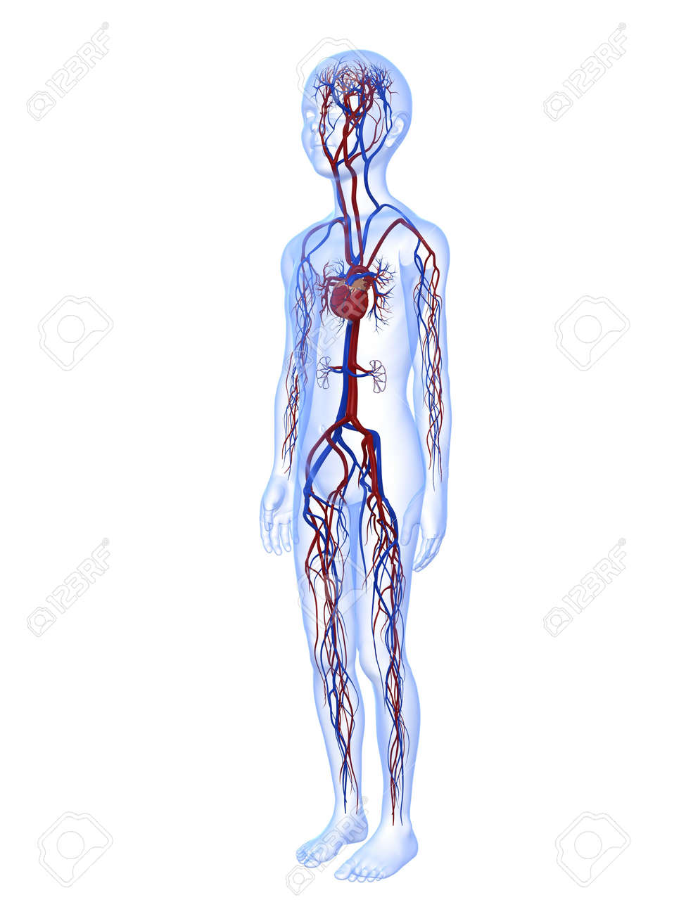 Male Child Anatomy With Vascular System Stock Photo, Picture And ...