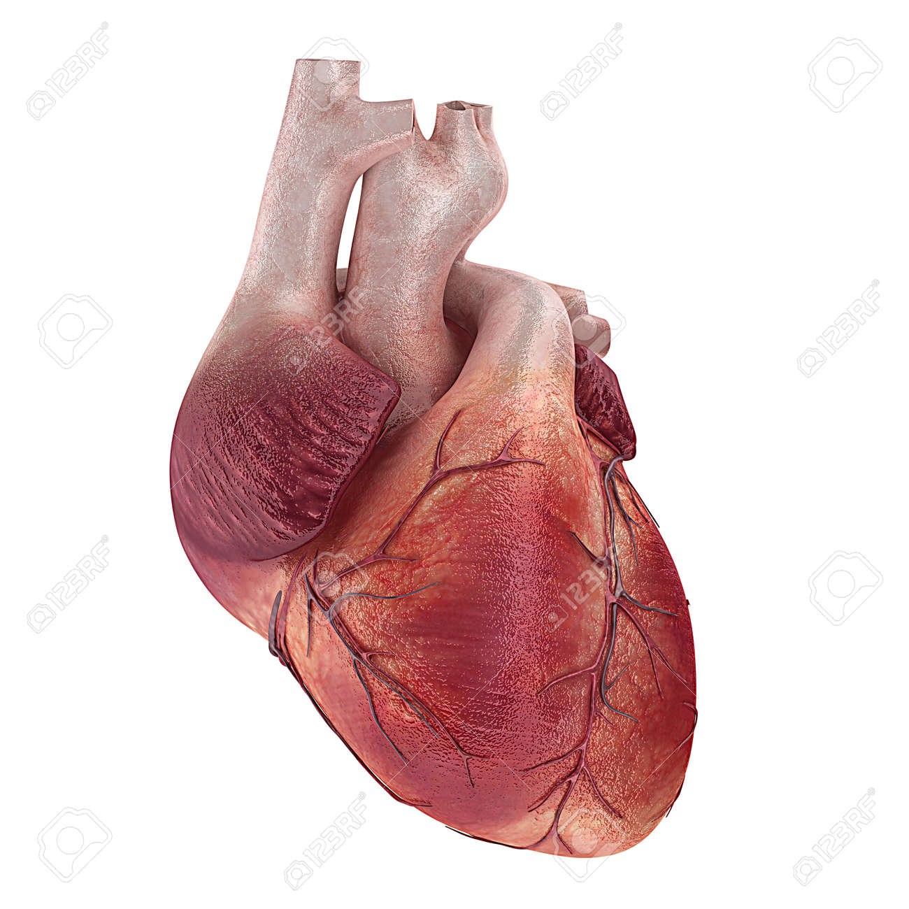 Coeur Humain Photo 3d a rendu l'illustration médicale d'un coeur humain banque d'images