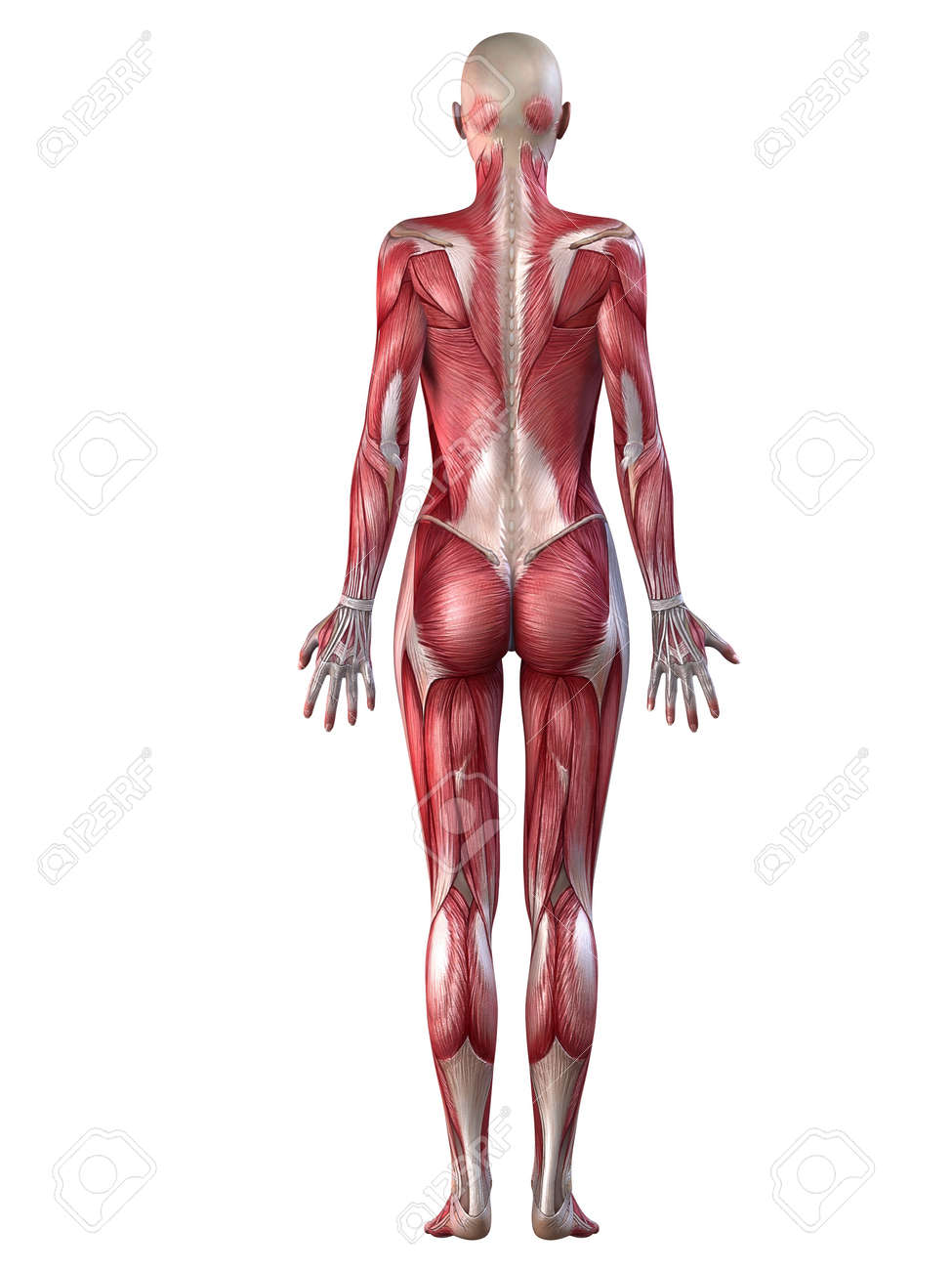 Female Muscular System Stock Photo, Picture And Royalty Free Image ...