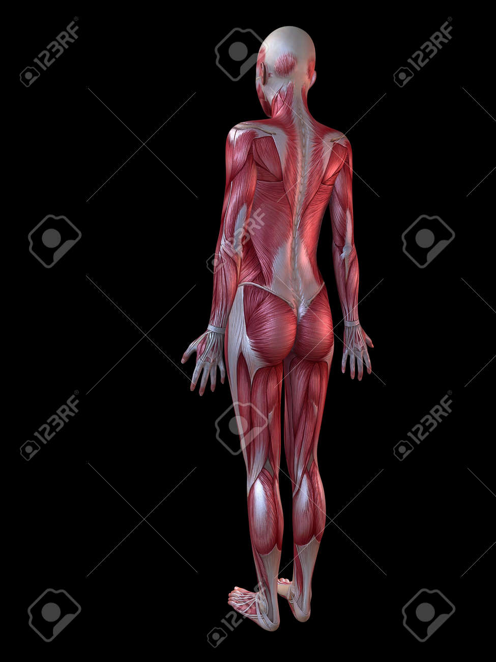 female muscular system stock photo, picture and royalty free image, Muscles