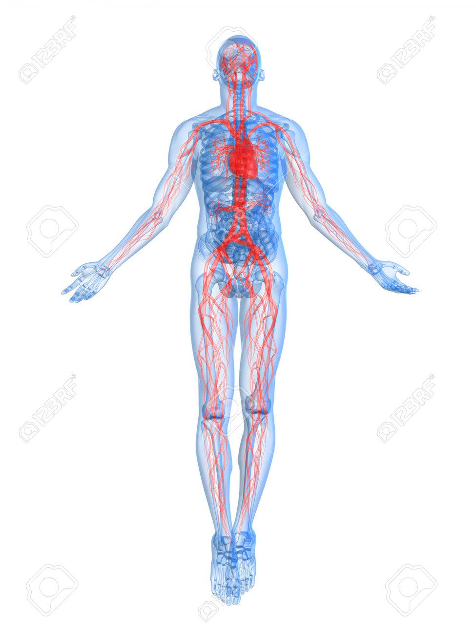 vascular system stock photos. royalty free vascular system images, Sphenoid