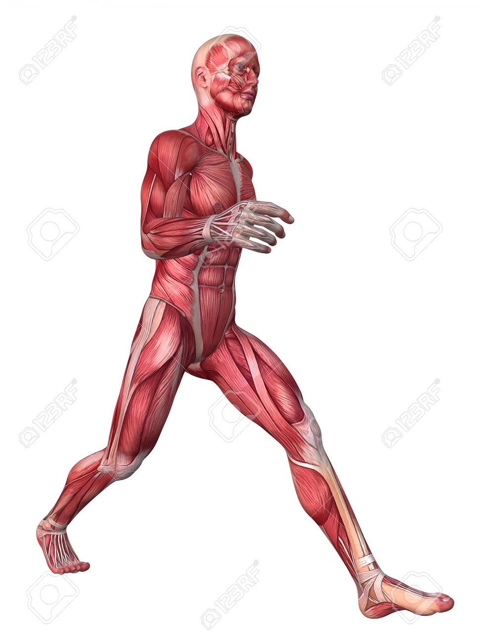 Gemütlich 3d Menschlichen Anatomie Modell Ideen - Anatomie Ideen ...