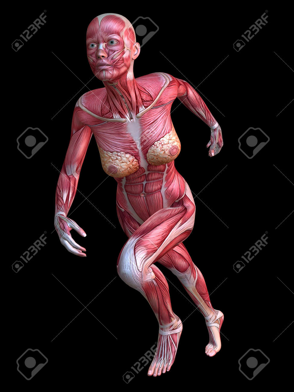 3d Muscle Model - Female Stock Photo, Picture And Royalty Free Image ...