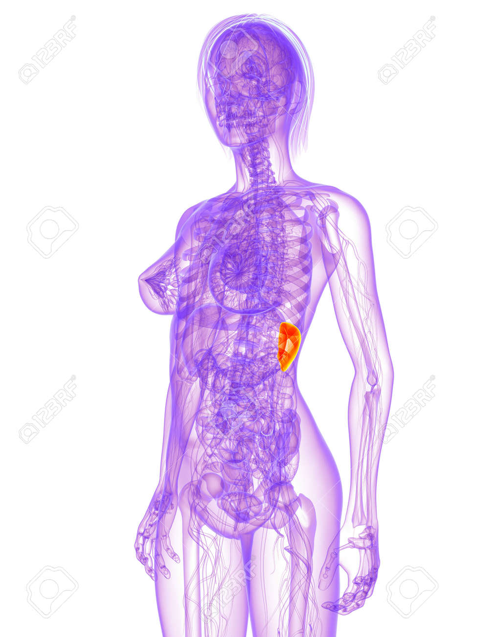 Female Anatomy Spleen Stock Photo Picture And Royalty Free Image