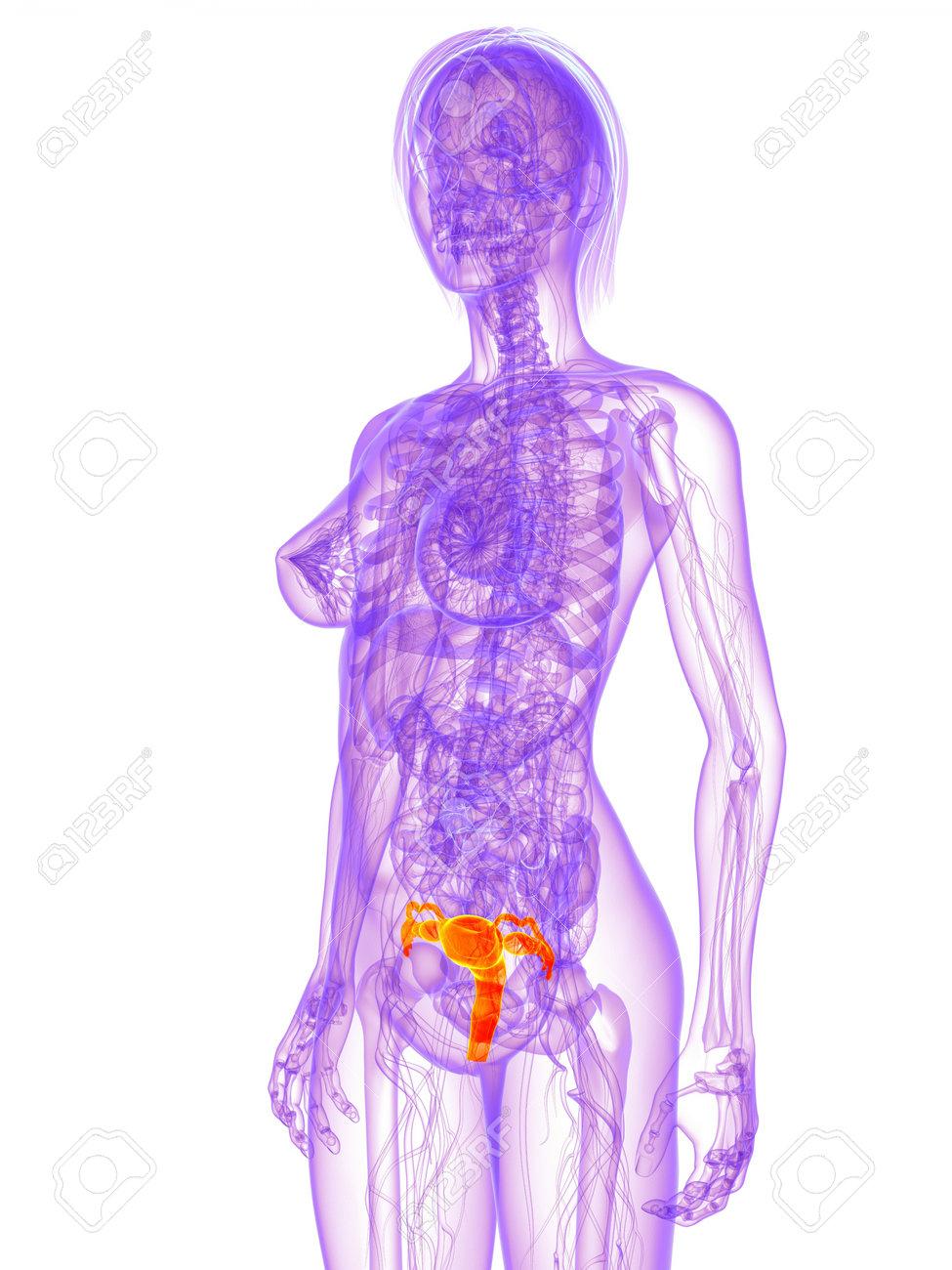 Weibliche Anatomie - Gebärmutter Lizenzfreie Fotos, Bilder Und Stock ...