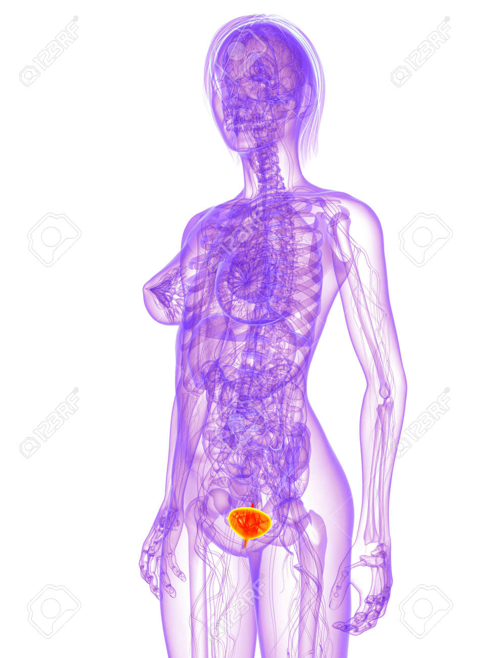 Female Anatomy - Bladder Stock Photo, Picture And Royalty Free Image ...