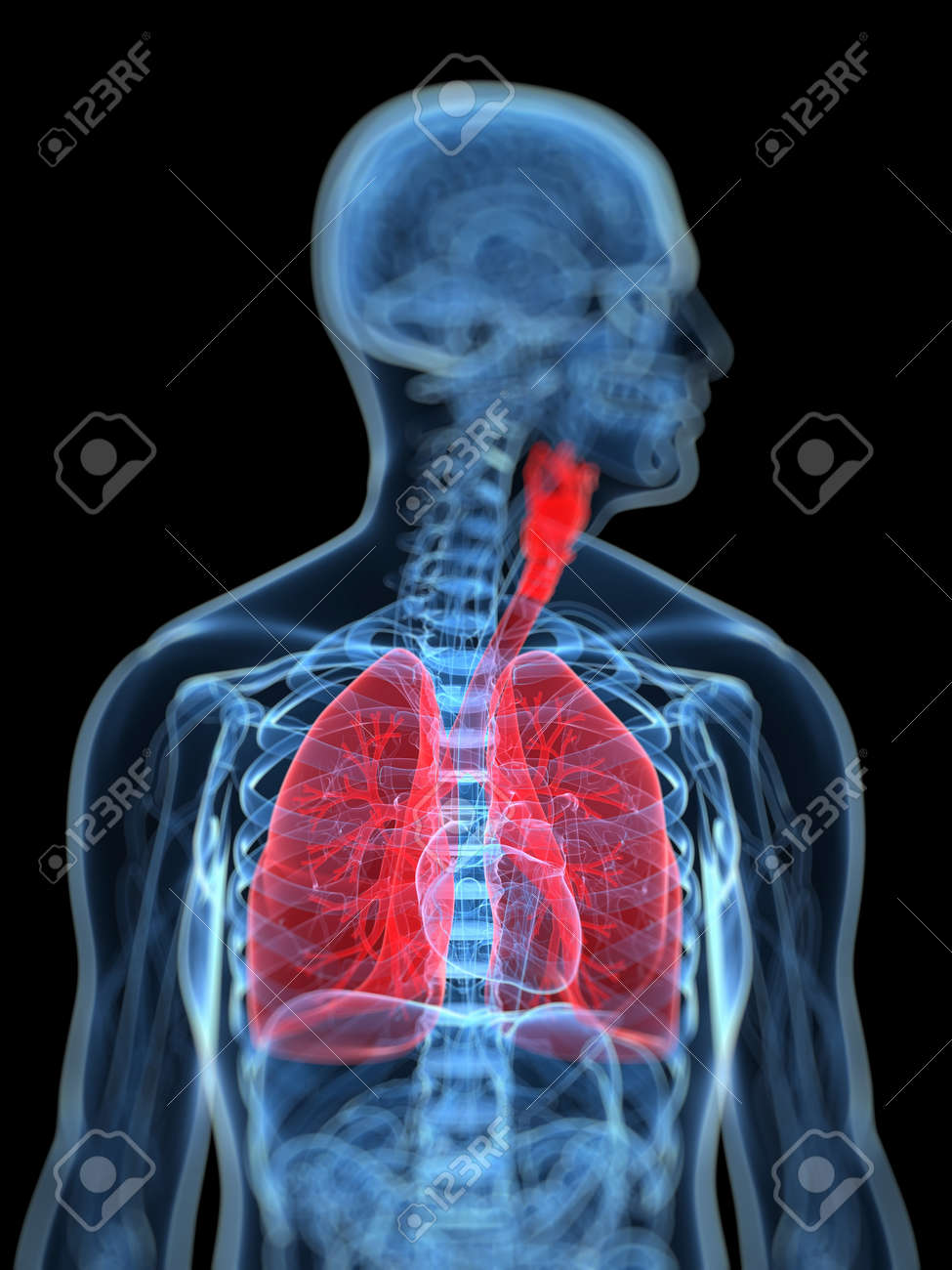 3d Rendered Medical Illustration Of The Human Respiratory System