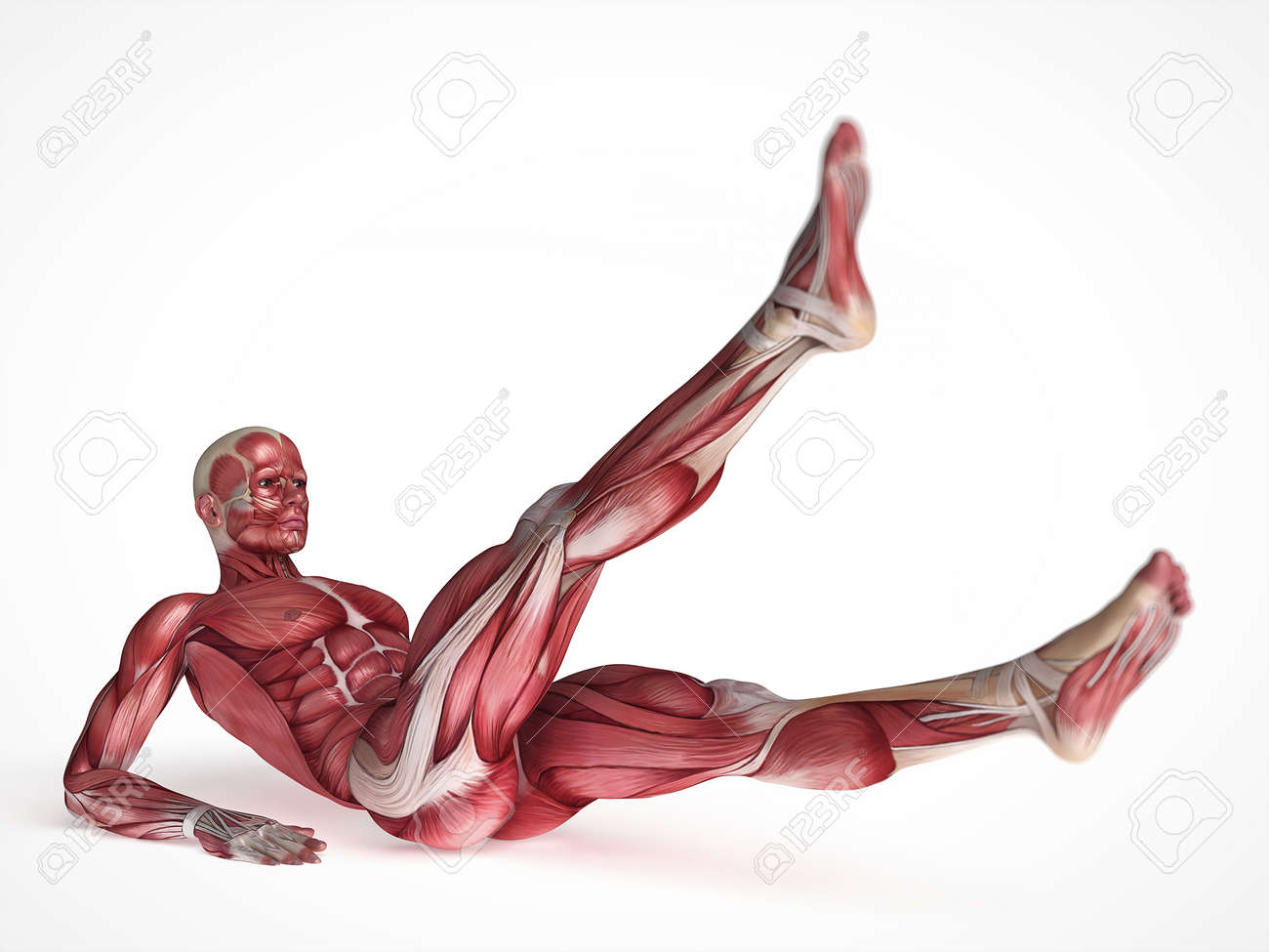 3d rendered scientific illustration of the males muscles Stock Illustration - 13004904