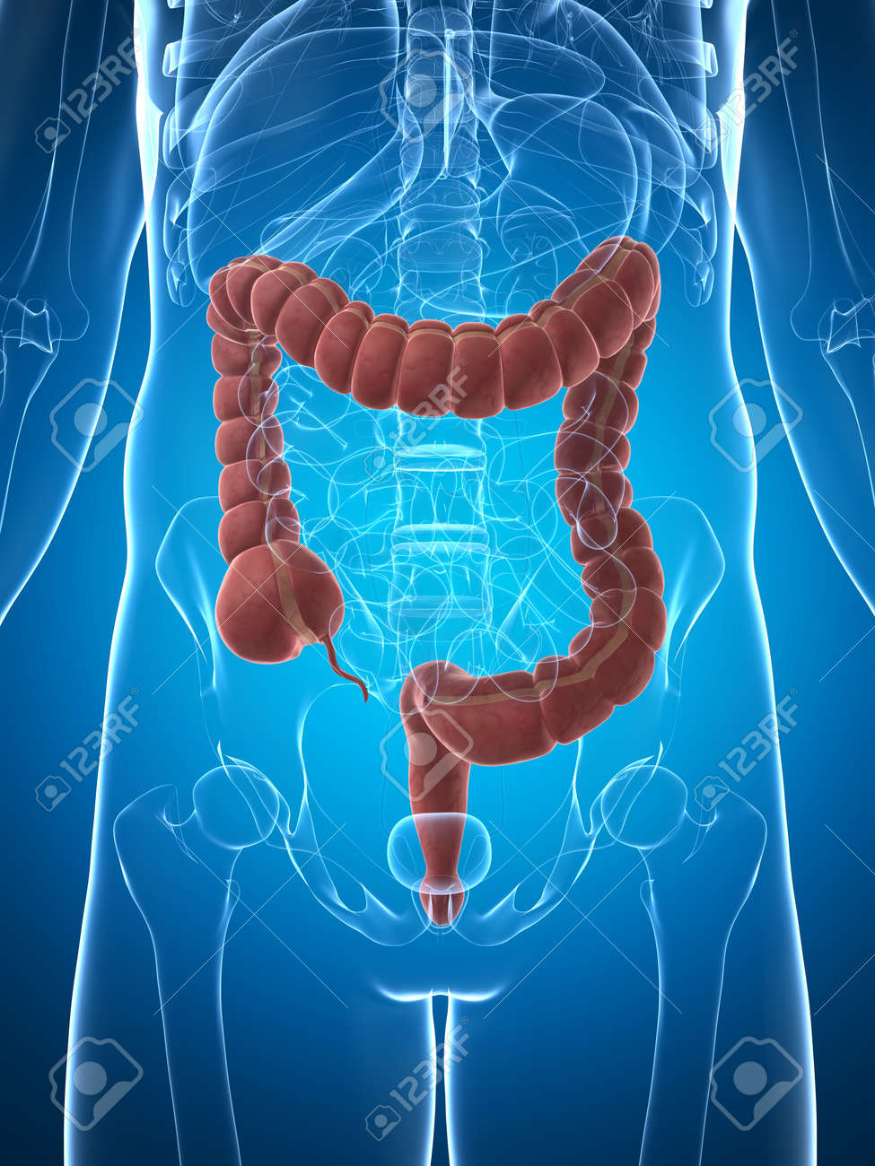 3d rendered illustration of the male colon Stock Illustration - 17911187