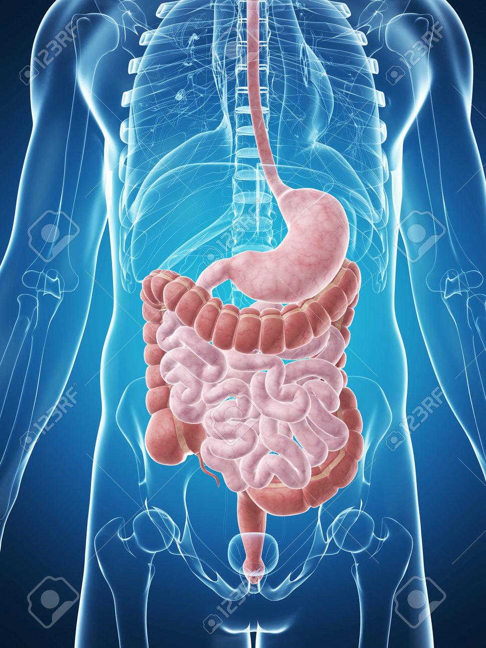 3d rendered illustration of the male digestive system Stock Illustration - 17911335
