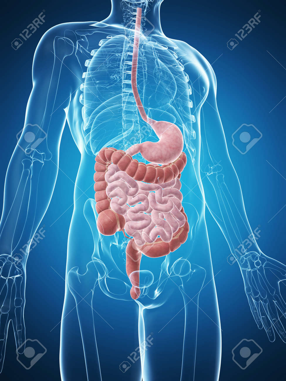 3d rendered illustration of the male digestive system Stock Photo - 17911291