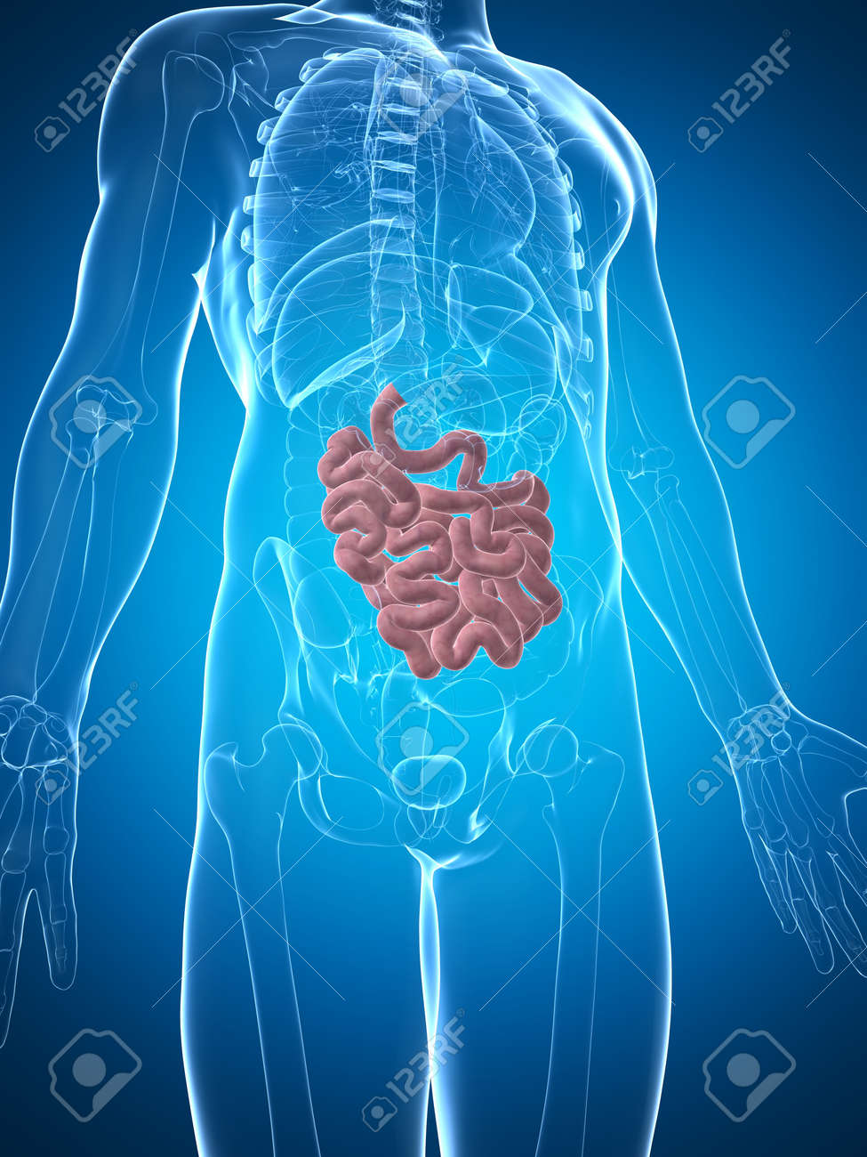 3d rendered illustration of the male small intestine Stock Photo - 17911174