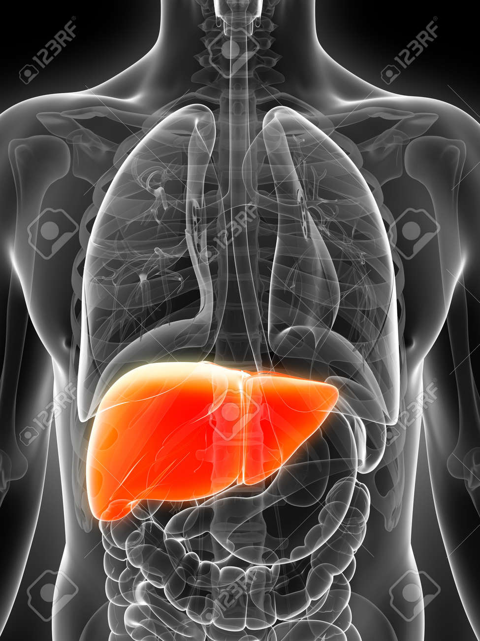 3d rendered illustration of the male liver Stock Photo - 17911212