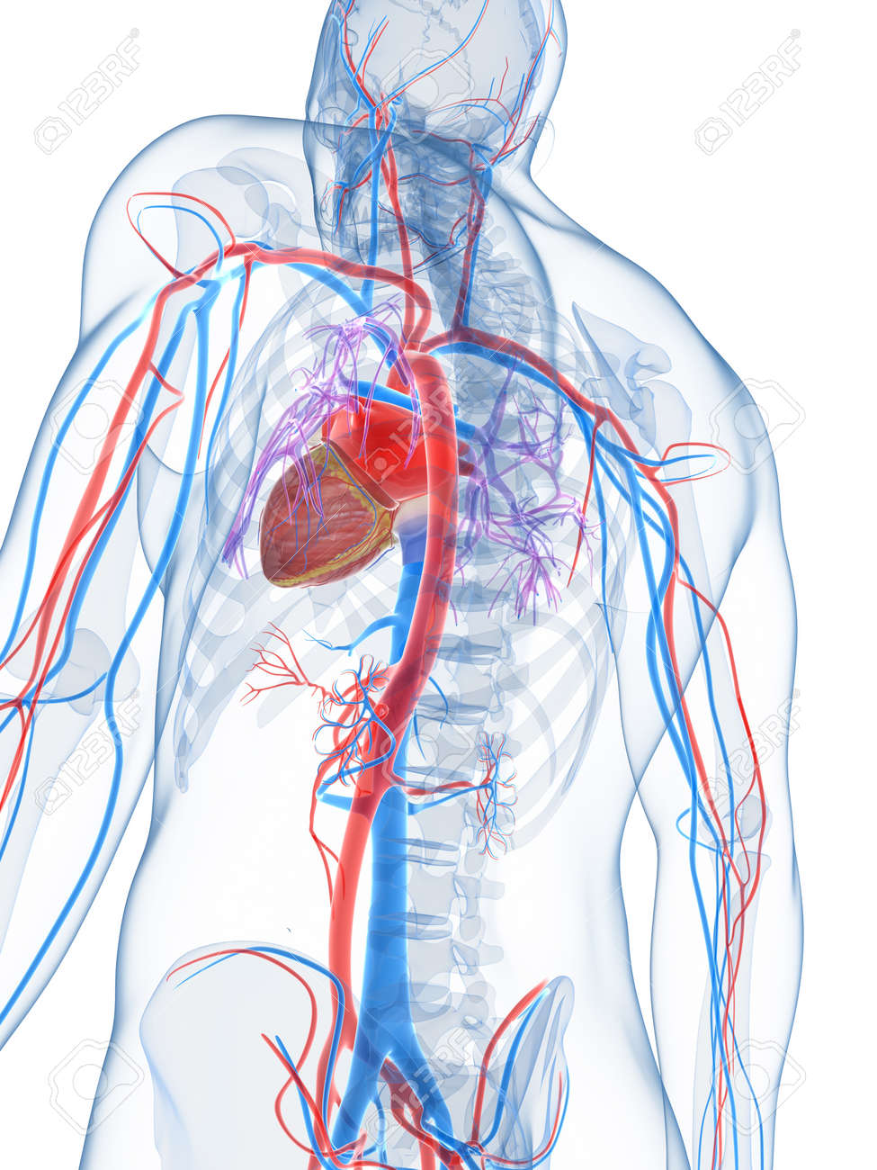3d Rendered Illustration Of The Human Vascular System Stock Photo