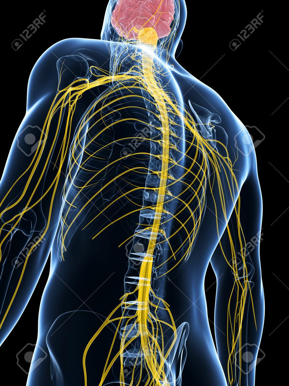3d Gerenderten Darstellung Des Männlichen Nervensystem Lizenzfreie ...