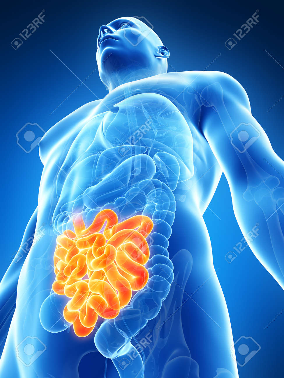 3d rendered illustration of the male small intestine Stock Illustration - 17911104
