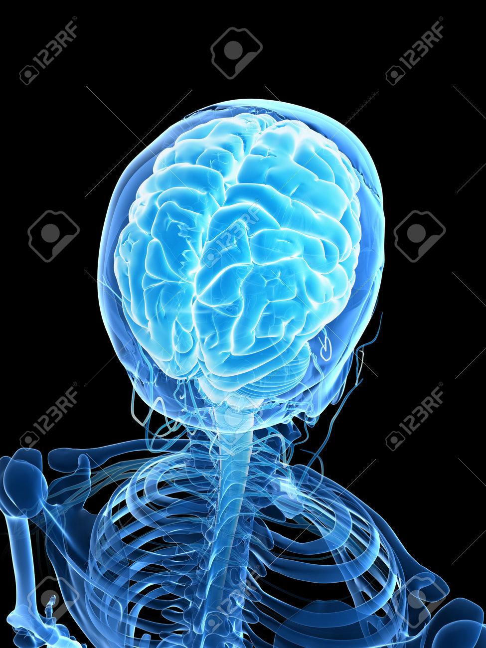 3d rendered illustration - male brain Stock Photo - 18071528