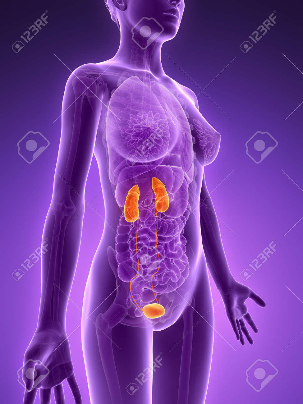 3d rendered illustration - urinary system Stock Photo - 18071196