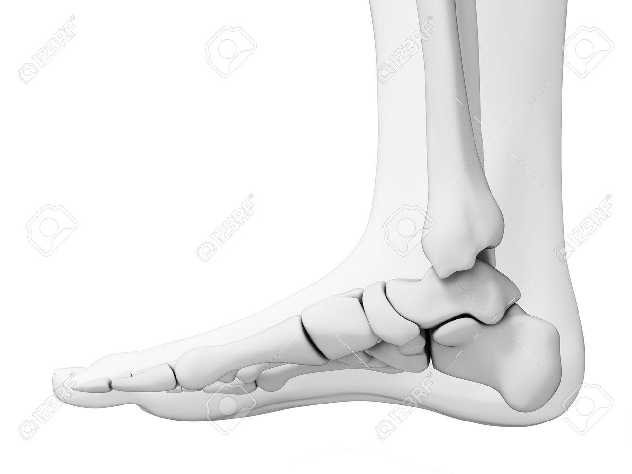 Charmant Skelett Fuß Bilder - Anatomie Und Physiologie Knochen ...