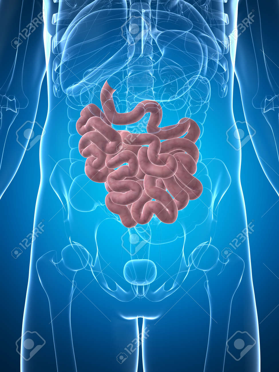 3d rendered illustration of the male small intestine Stock Illustration - 18071553