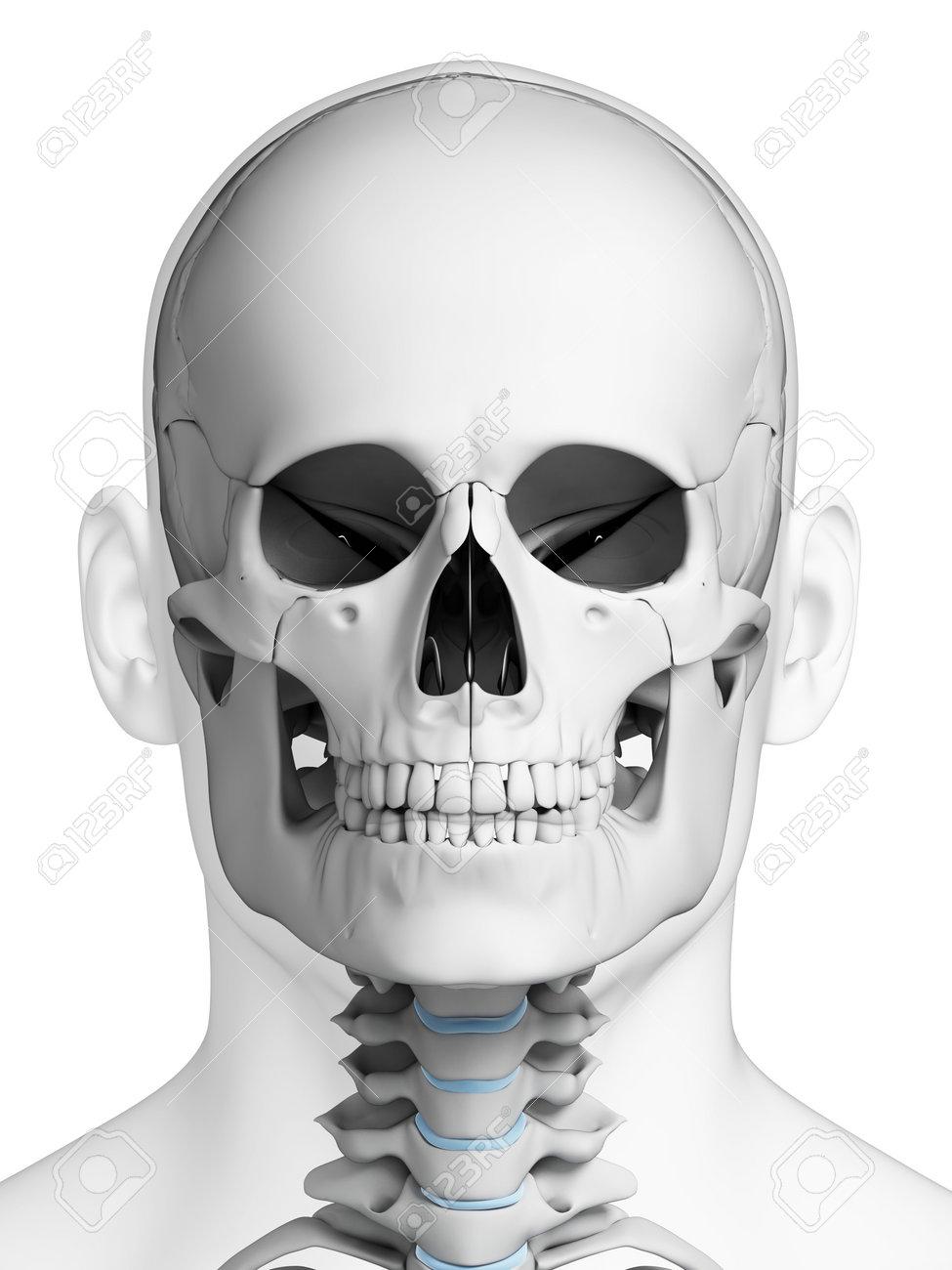 3d Rindió La Ilustración - Anatomía Del Cráneo Humano Fotos ...