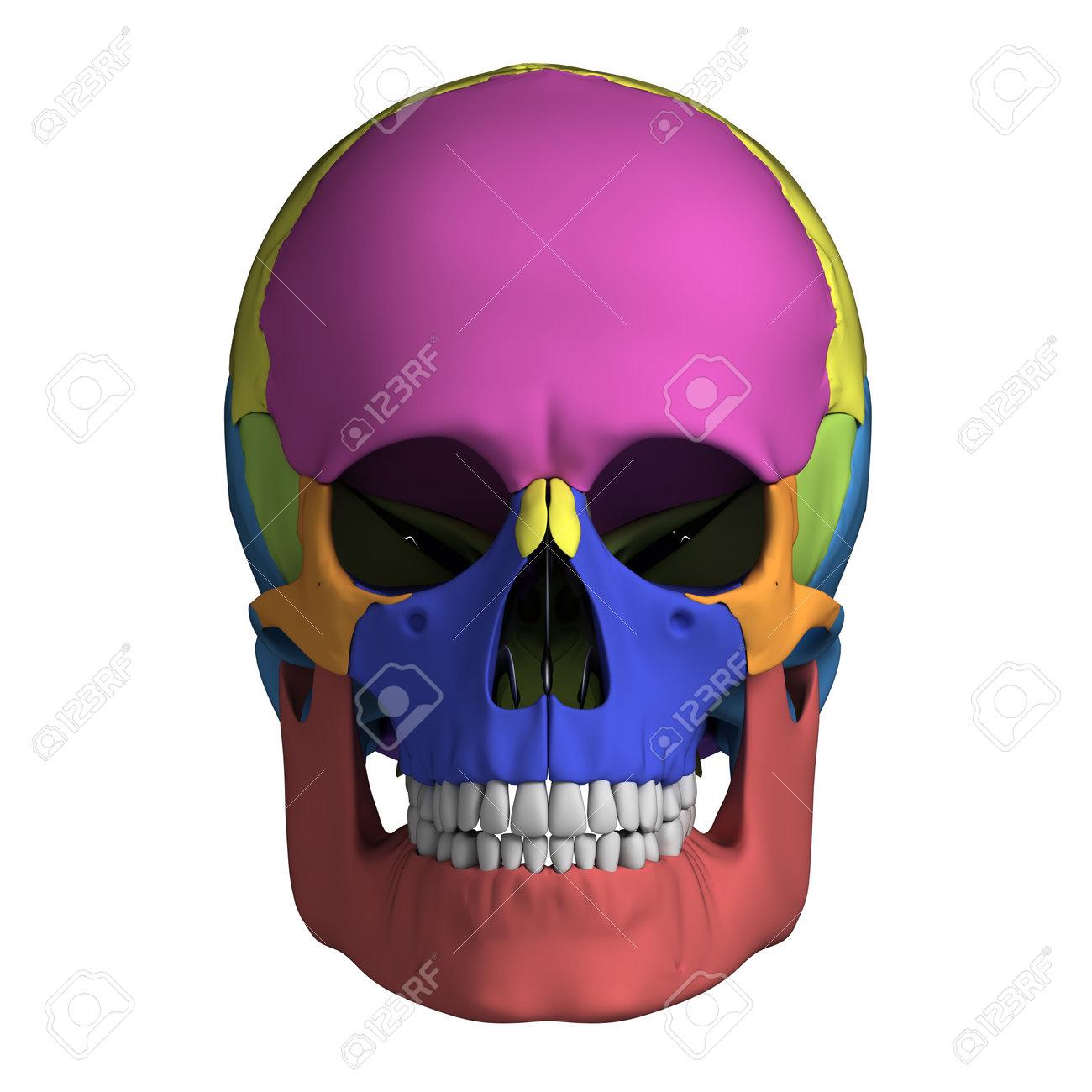 3d Rendered Illustration Human Skull Anatomy Stock Photo Picture