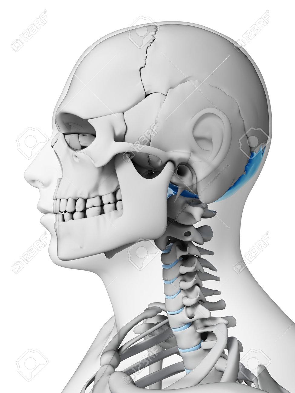 Ilustración 3d Rendered - Hueso Occipital Fotos, Retratos, Imágenes ...