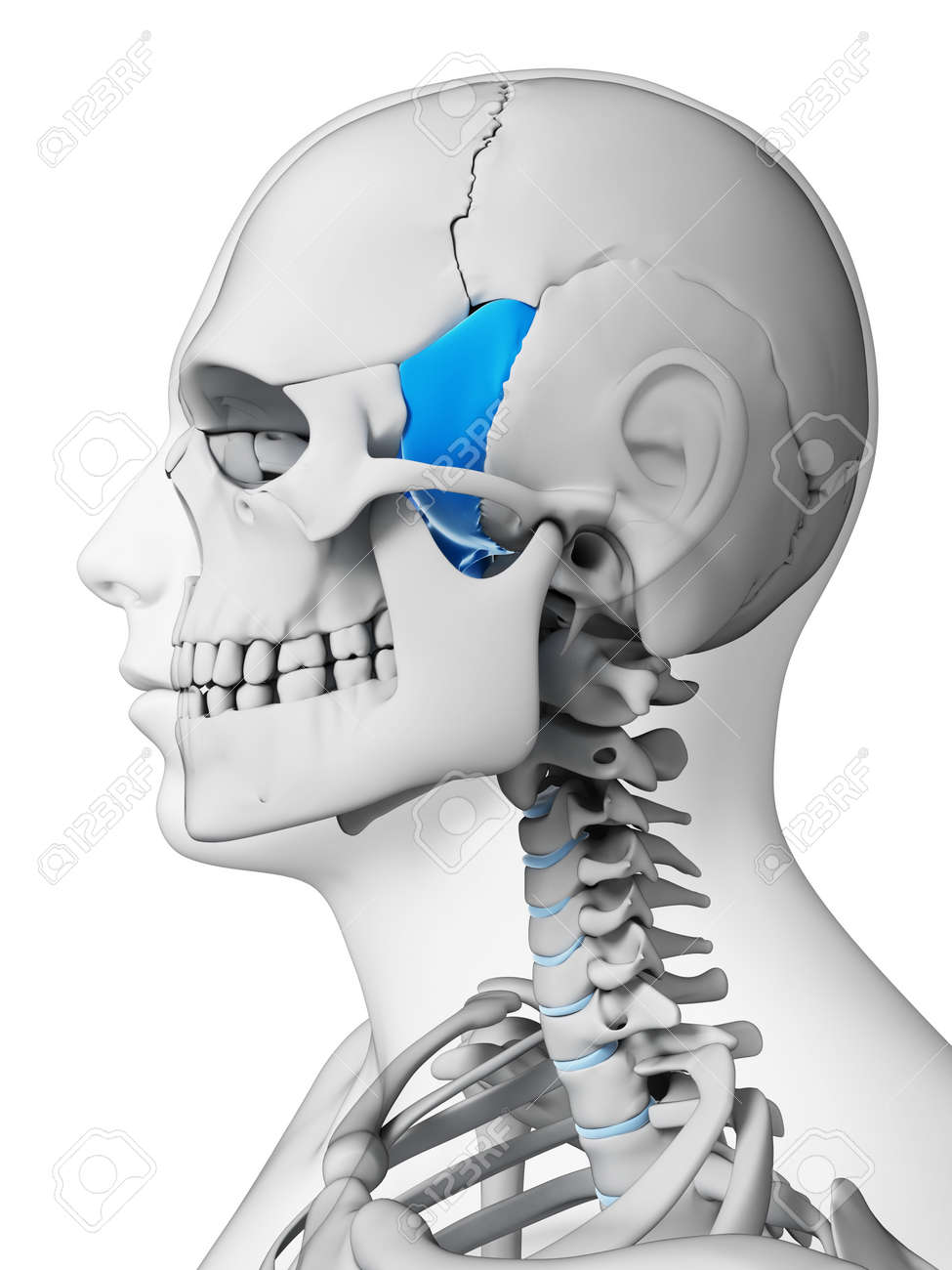 3d Rendered Illustration - Sphenoid Bone Stock Photo, Picture And ...