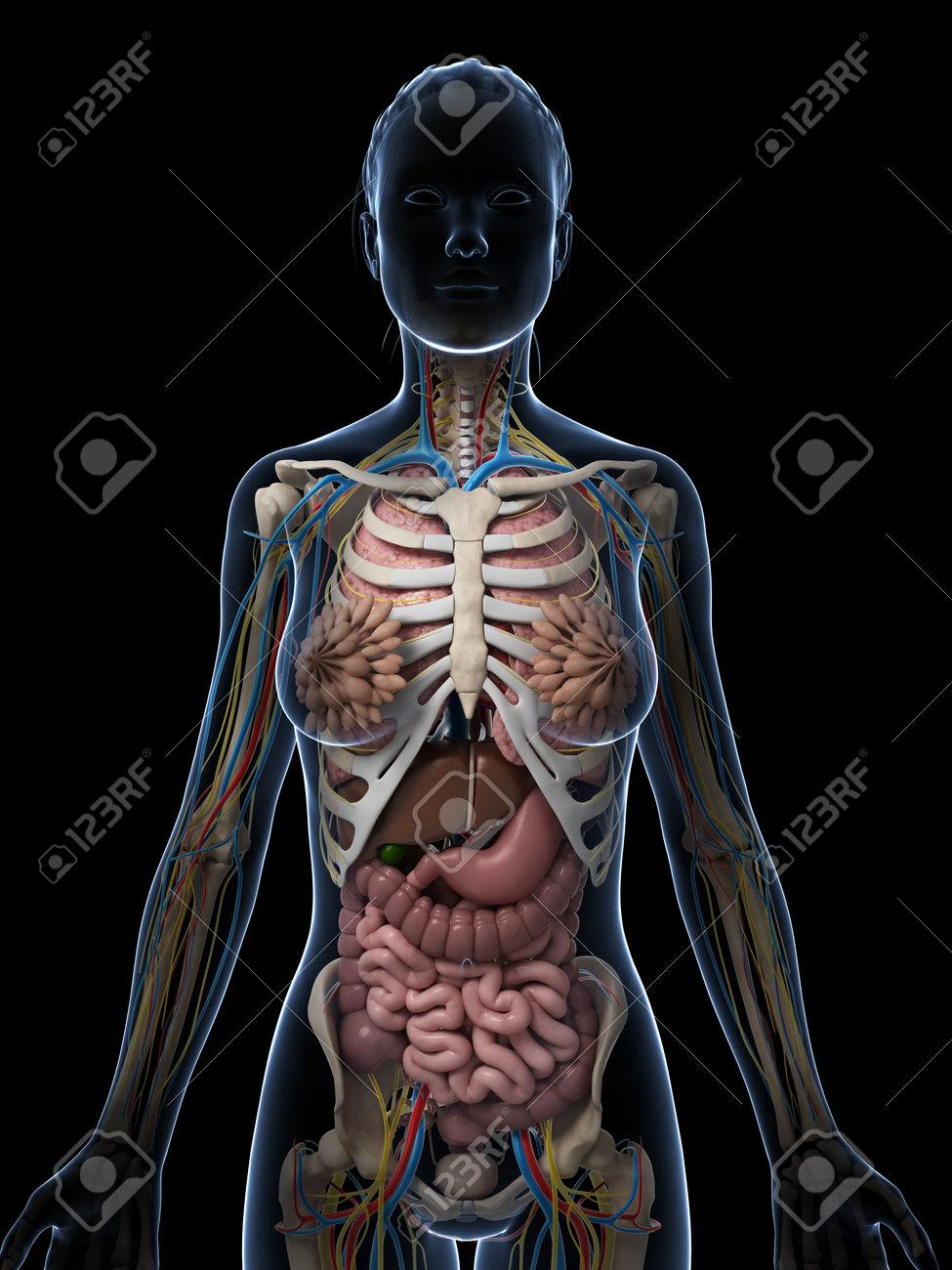 Atractivo La Ilustración De La Anatomía Femenina Patrón - Imágenes ...