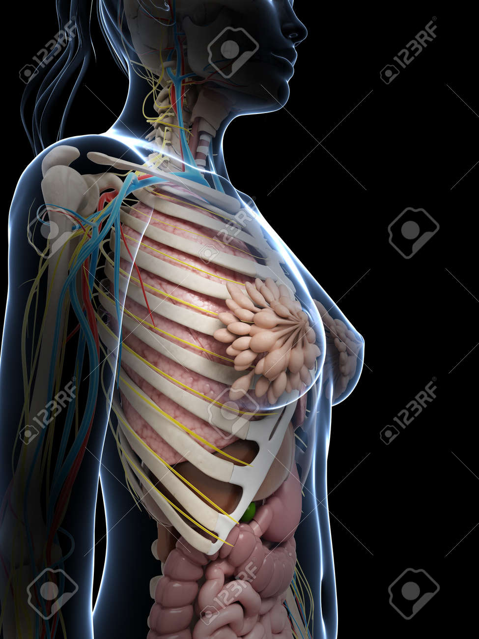 3d rendered illustration of the female anatomy Stock Photo - 18451366
