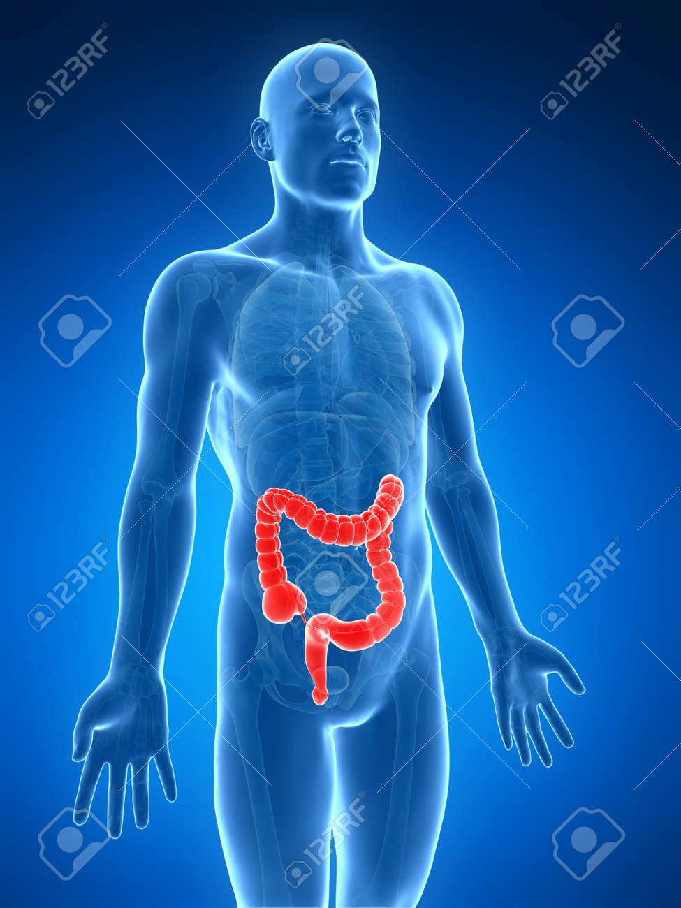 3d rendered illustration of the human large intestine Stock Illustration - 18448544