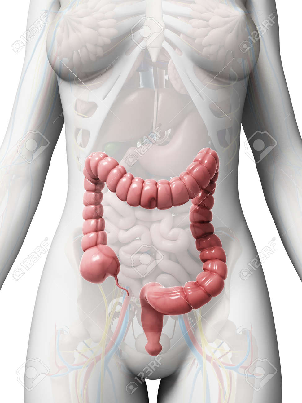 3d rendered illustration of the large intestine Stock Photo - 18451396