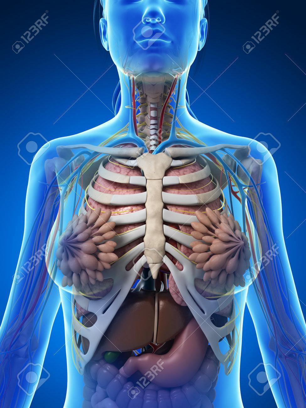 3d Gerenderten Darstellung Der Weiblichen Anatomie Lizenzfreie Fotos ...