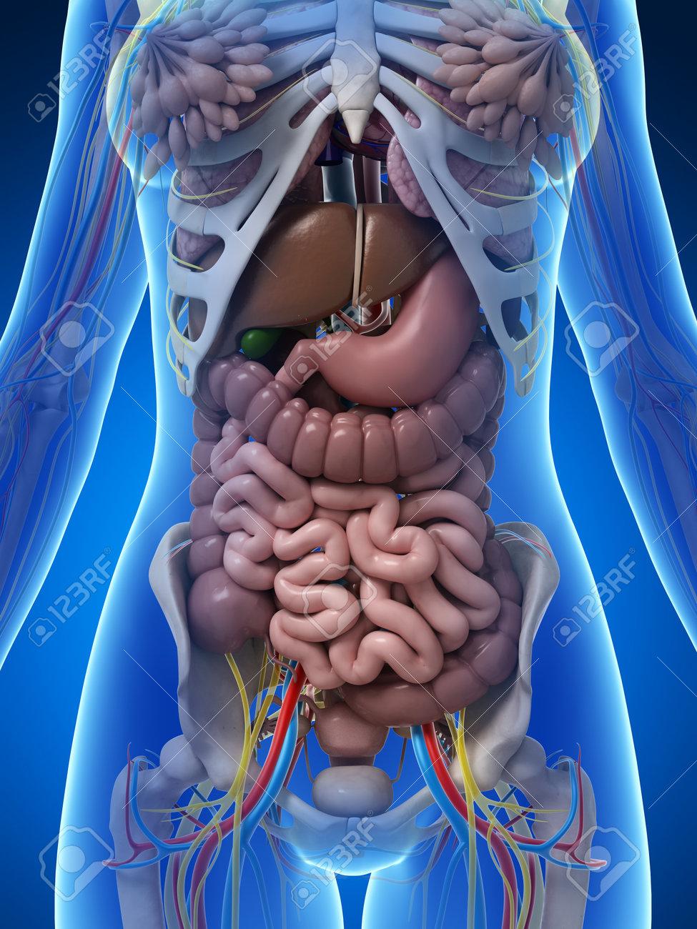 3d Rindió La Ilustración De La Anatomía Femenina Fotos, Retratos ...
