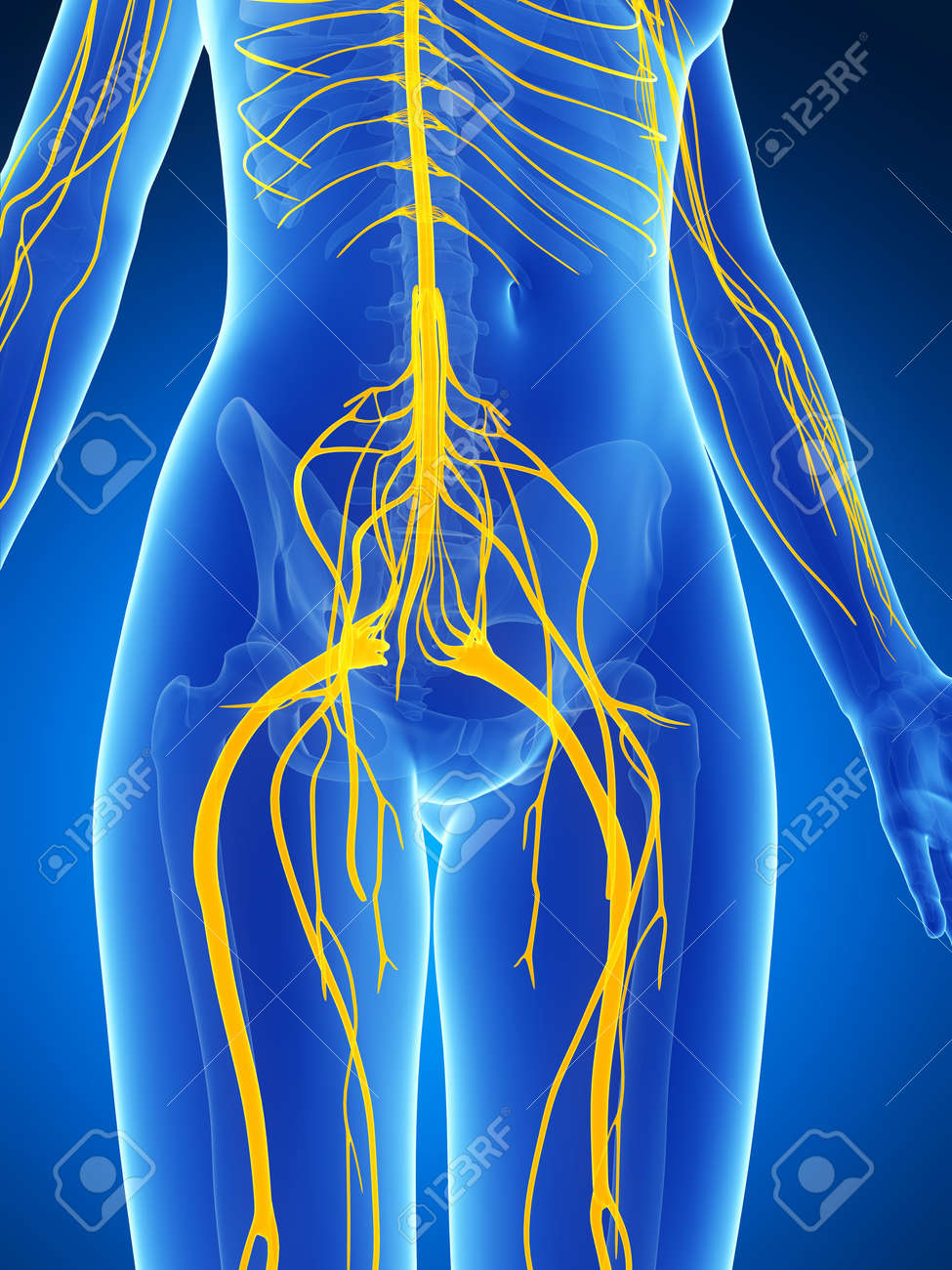 3d rendered illustration of the female nervous system Stock Photo - 18451812