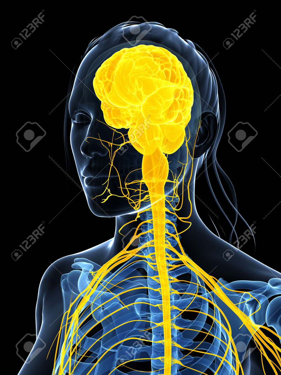 3d rendered illustration of the female nervous system Stock Photo - 18451844