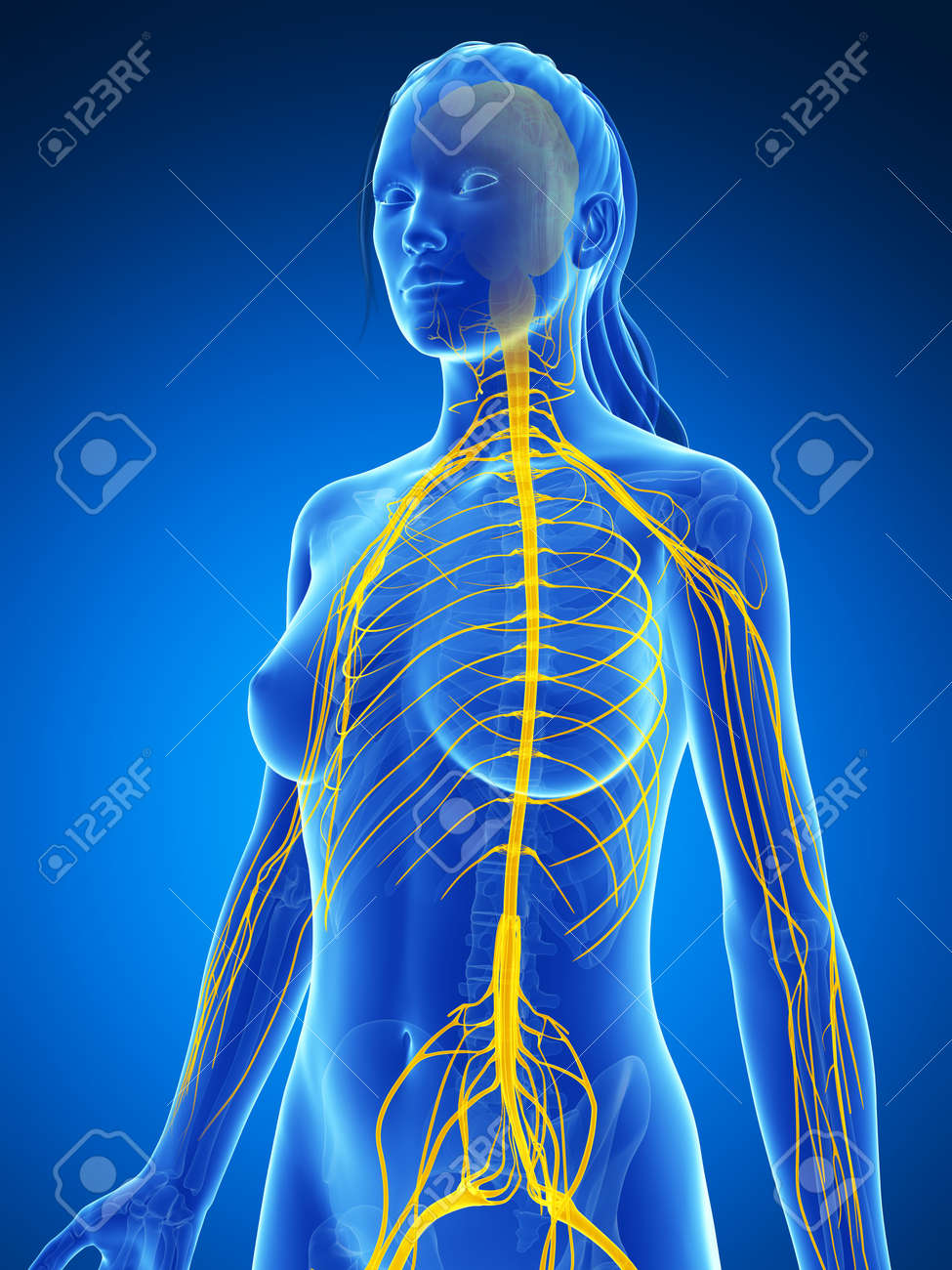 3d rendered illustration of the female nervous system stock photo 3d rendered illustration of the female nervous system stock illustration 18451813 ccuart Choice Image