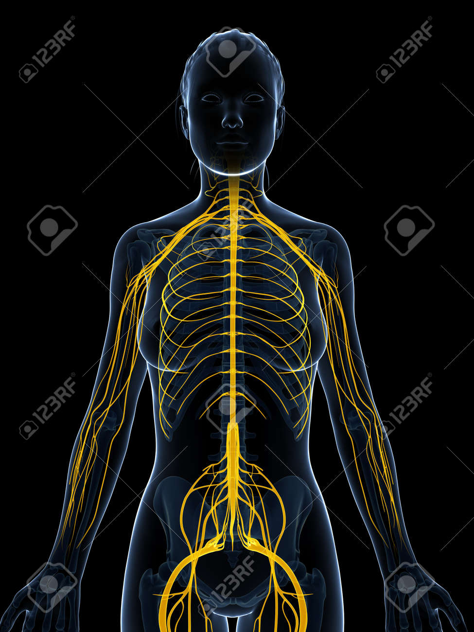 3d rendered illustration of the female nervous system Stock Illustration - 18451447